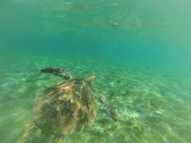 turtle tours in Samoa with Manoa Tours