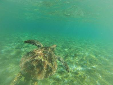 turtle tours in Samoa with Manoa Tours