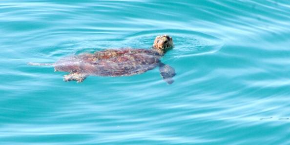 turtle tours samoa, manoa tours samoa