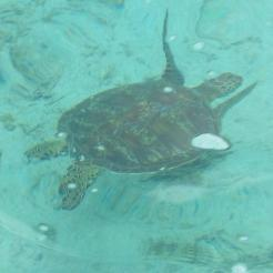 turlt etours samoa, manoa tours samoa, surf samoa, snorkel samoa