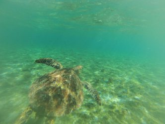 surf samoa turtle tours samoa